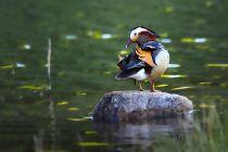 """平谷""""疏整促"""":好生態引來上百水鳥棲息"""
