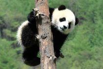 """中国大熊猫国际形象设计""""1+N""""计划启动"""