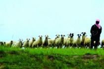 網紅環縣羊 爬過山溝進了城