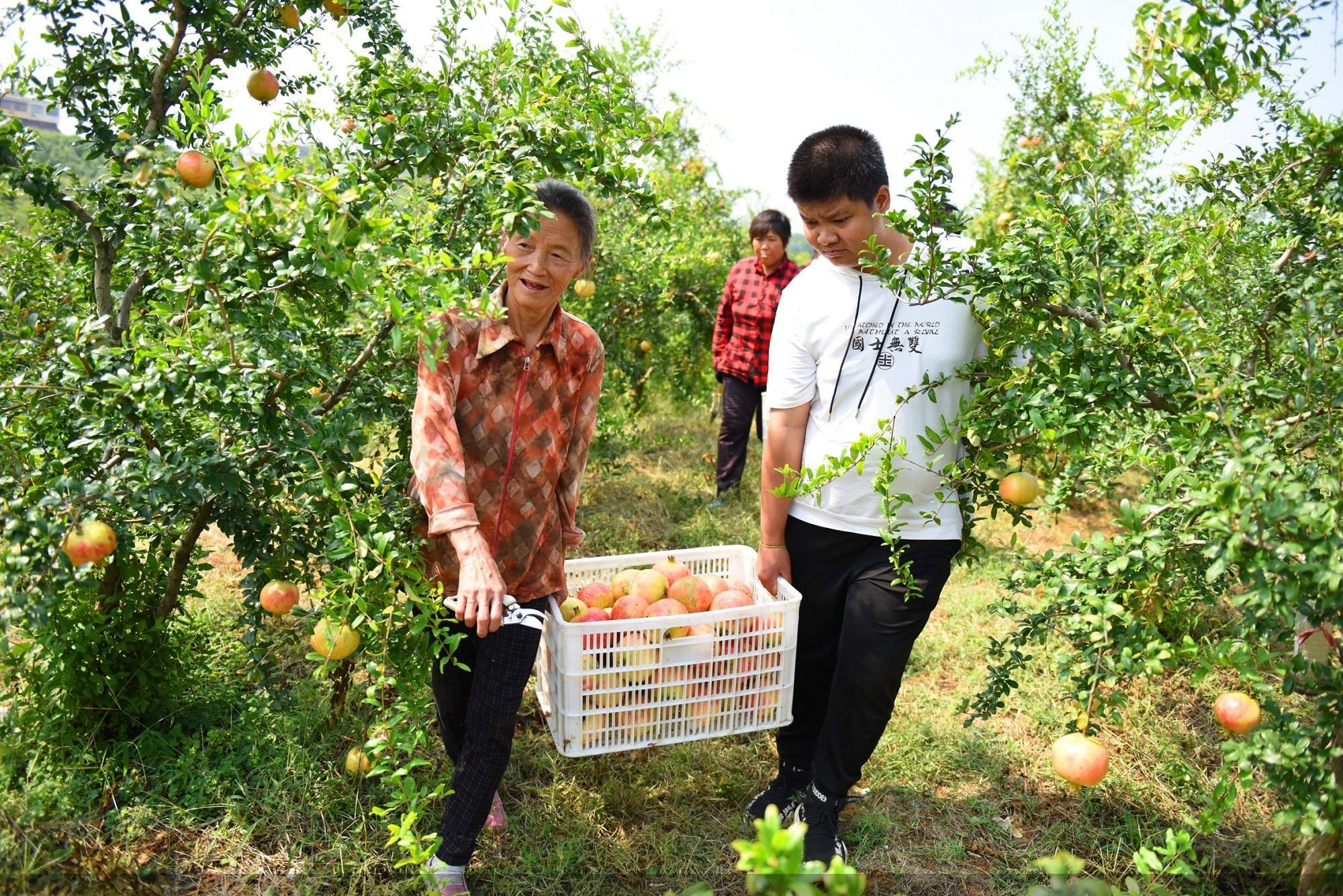 淅川县丹亚湖软籽石榴种植基地,果农们正在采摘。中共淅川县委宣传部供图